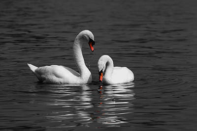 Photograph - Swans Swimming Isolation by Chris Day