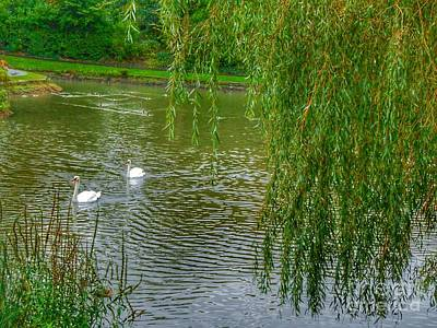 Photograph - Swans Under The Willow Tree by Joan-Violet Stretch