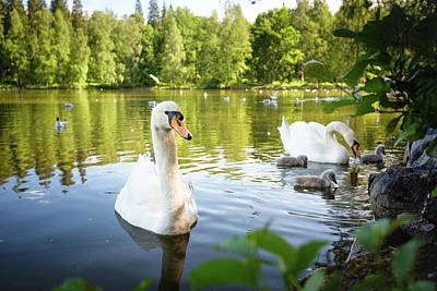 Photograph - Swans With Chicks by Teemu Tretjakov
