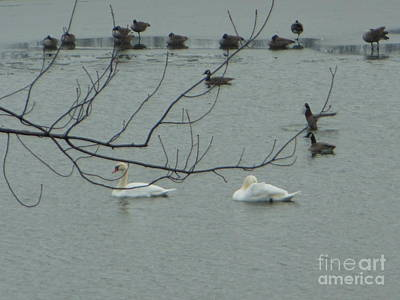Swans With Geese Art Print