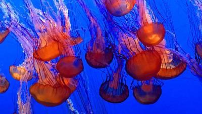 Photograph - Swarm Of Sea Nettles by Kruti Shah