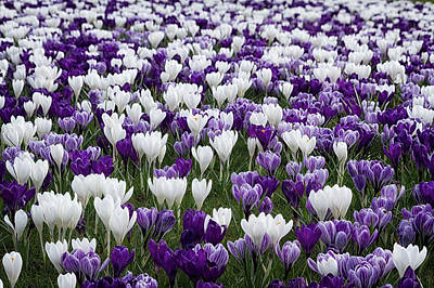 Photograph - Swathes Of Crocuses by Shirley Mitchell