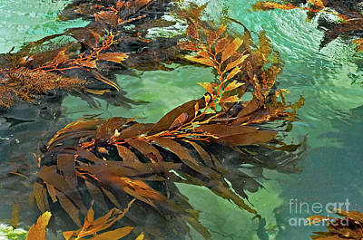 Photograph - Swaying Seaweed by Susan Wiedmann