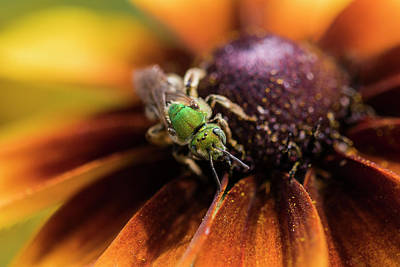 Photograph - Sweat Bee On Rudbeckia by Robert Potts