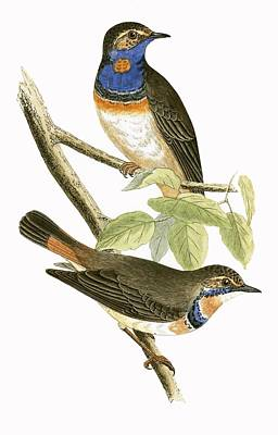Blue Throat Painting - Swedish Blue Throated Warbler by English School