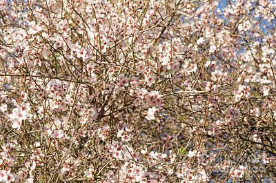 Photograph - Sweet Almond Blossom, Prunus Dulcis, Flowering  by Perry Van Munster
