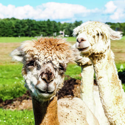Photograph - The Soft Joy Of Alpacas by Robin Zygelman