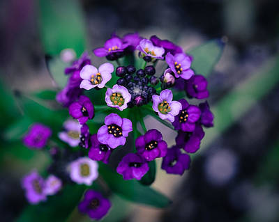 Photograph - Sweet Alyssum by Ronda Broatch