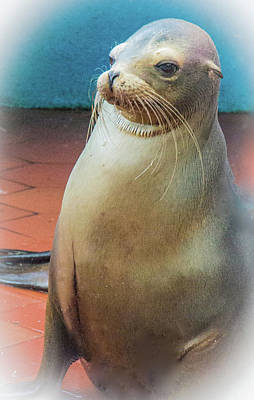 Photograph - Sweet And Playful Galapagos Sea Lion by Venetia Featherstone-Witty