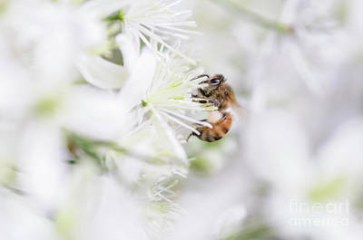 Photograph - Sweet Autumn Clematis And Bee by Tamara Becker
