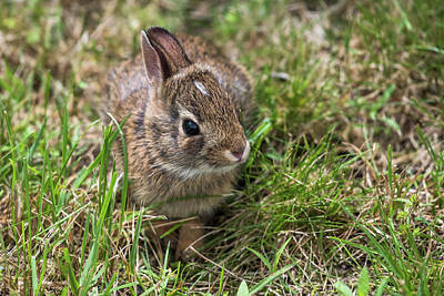 Photograph - Sweet Baby Bunny by Terry DeLuco