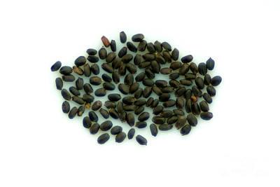 Sweet Basil Seeds Print by Scimat