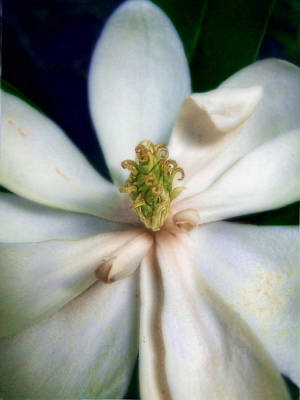 Photograph - Sweet Bay Magnolia Bloom  #2 by Louise Kumpf