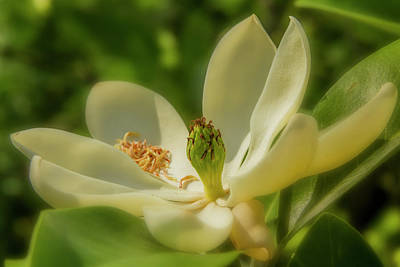 Photograph - Sweet Bay Magnolia by Garry McMichael