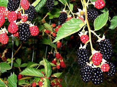 Photograph - Sweet Blackberries by Will Borden