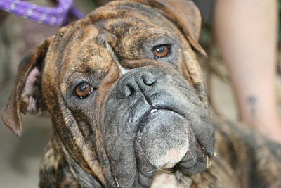 Brindle Photograph - Sweet Boy by Angie Wingerd