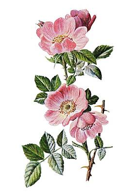 Sweet Briar Painting - Sweet Briar Rose by MotionAge Designs