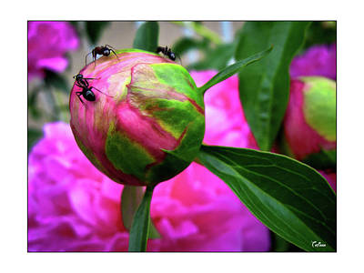 Photograph - Sweet Buds by Tatiana Travelways