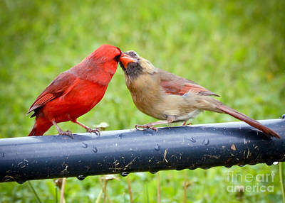 Photograph - Sweet Cardinal Couple by Kerri Farley