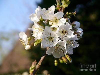 Sweet Cherry Blossoms Art Print by Christiane Schulze Art And Photography