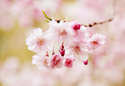 Cherry Blossoms Photograph - Sweet Cherry by Jessica Jenney