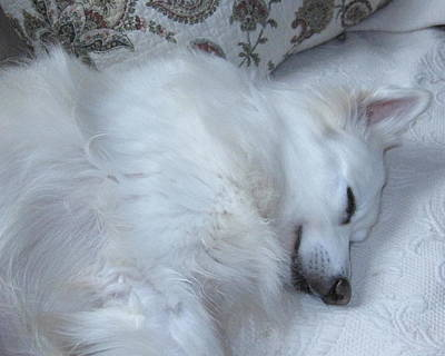 American Eskimo Dog Painting - Sweet Dreams by Sue Martin