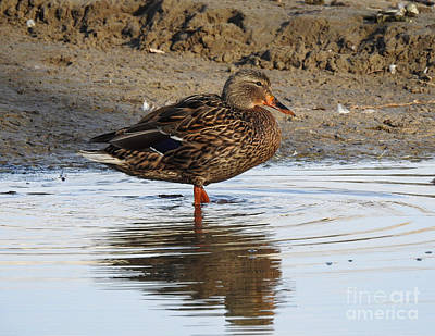 Sweet Duck At Sunset Print by Brenda Landdeck