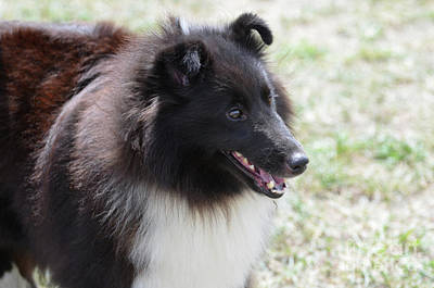 Miniature Collie Photograph - Sweet Face Of A Black And White Sheltie Dog by DejaVu Designs
