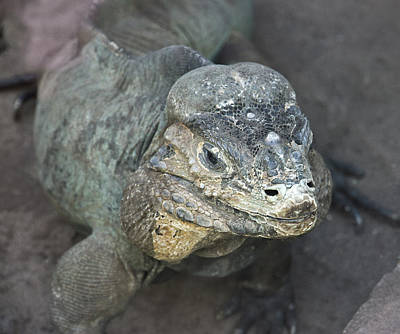 Photograph - Sweet Face Of Rhinoceros Iguana by Miroslava Jurcik