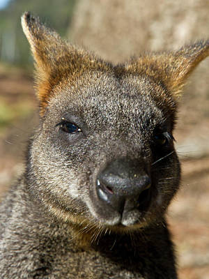 Photograph - Sweet Face Of Swamp Wallaby by Miroslava Jurcik