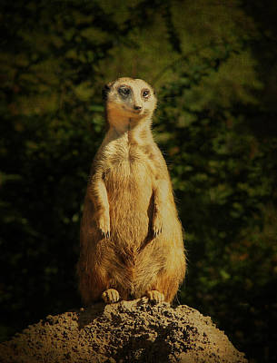 Photograph - Sweet Faced Meerkat by Carla Parris