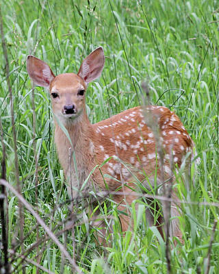 Photograph - Sweet Fawn by Doris Potter
