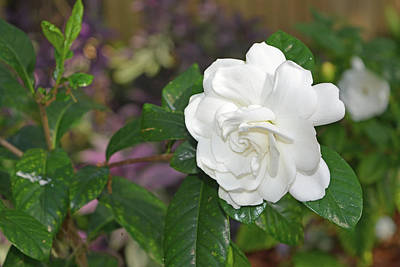 Photograph - Sweet Gardenia by Aimee L Maher Photography and Art Visit ALMGallerydotcom