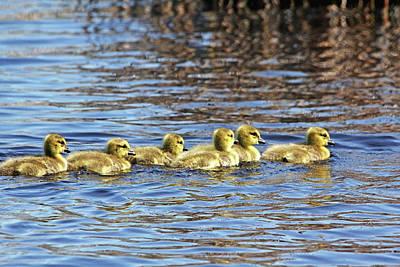 Photograph - Sweet Goslings by Debbie Oppermann
