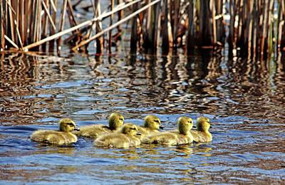 Photograph - Sweet Goslings I by Debbie Oppermann