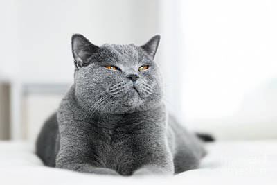 Photograph - Sweet Grey Cat Laying With Eyes Closed by Michal Bednarek
