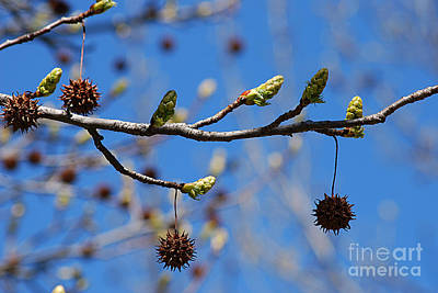 Photograph - Sweet Gum Catkins 20120405_206a by Tina Hopkins
