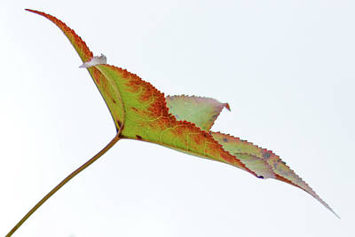 Photograph - Sweet Gum On White Sky by Tana Reiff