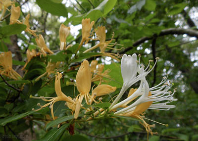 Photograph - Sweet Honeysuckle Shrub by Kristin Aquariann
