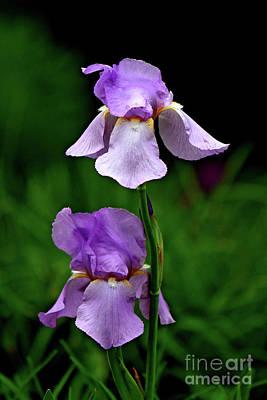 Photograph - Sweet Iris by Marle Nopardi