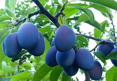 Photograph - Sweet Italian Plums by Will Borden