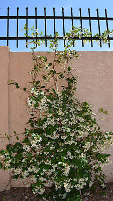 Arizona Photograph - Sweet Jasmine by Aimee L Maher Photography and Art Visit ALMGallerydotcom