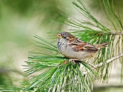 Sweet Lil' Sparrow Original