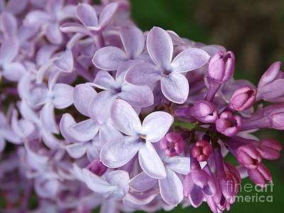 Photograph - Sweet Lilacs In Bloom   by Rebecca Overton