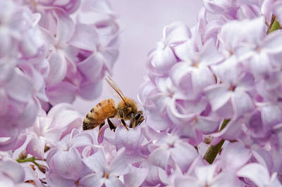 Photograph - Sweet Lilacs by Penny Meyers