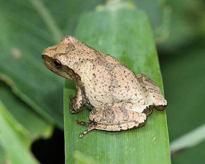 Spring Peepers Photograph - Sweet Little Peeper by Doris Potter