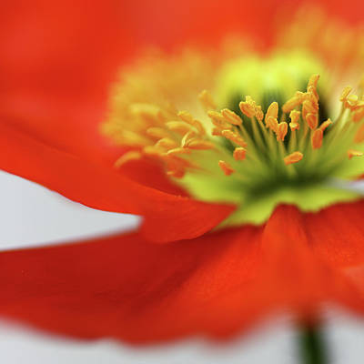 Photograph - Sweet Little Poppy by Bob Daalder