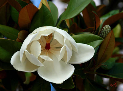 Photograph - Sweet Magnolia by Chrissy Skeltis