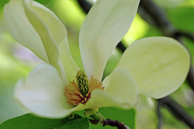 Photograph - Sweet Magnolia by Debbie Oppermann