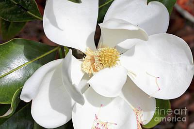 Photograph - Sweet Magnolia Grandiflora by Carol Groenen